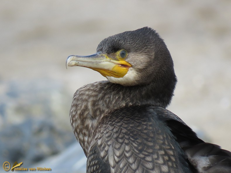 Aalscholver - Phalacrocorax carbo