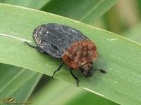 Aaskevers (Silphidae)