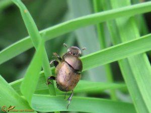 Aasmestkever - Onthophagus coenobita