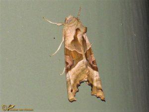 Agaatvlinder - Phlogophora meticulosa
