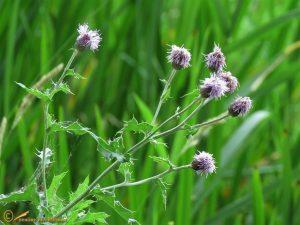 Akkerdistel – Cirsium arvense