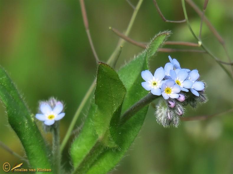 Akkervergeet-mij-nietje - Myosotis arvensis