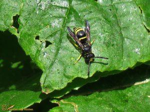 Ancistrocerus nigricornis