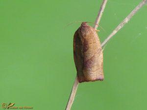 Anjerbladroller - Cacoecimorpha pronubana