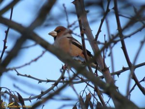 Appelvink – Coccothraustes coccothraustes