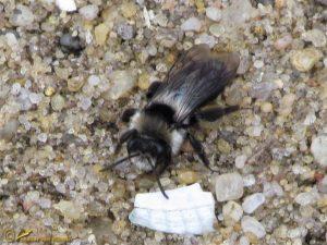 Asbij – Andrena cineraria