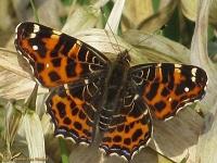 Aurelia's (Nymphalidae)