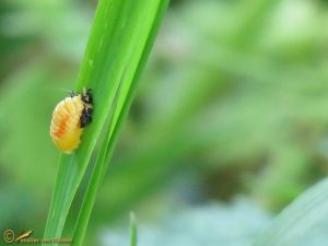 Aziatisch lieveheersbeestje - Harmonia axyridis