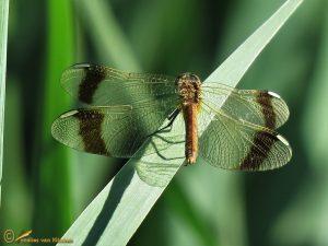 Bandheidelibel – Sympetrum pedemontanum ♀️