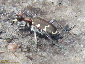 Bastaardzandloopkever - Cicindela hybrida