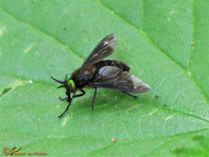 Beekgoudoogdaas – Chrysops caecutiens