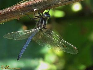 Beekoeverlibel – Orthetrum coerulescens ♂️