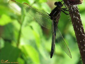 Beekoeverlibel - Orthetrum coerulescens
