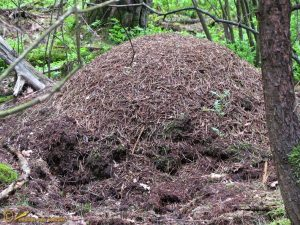 Behaarde rode bosmier - Formica rufa