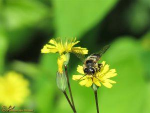 Behangersbij onbekend - Megachile spec.