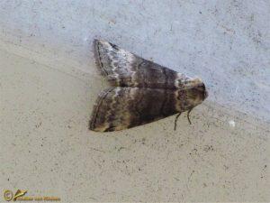 Berken-orvlinder - Tetheella fluctuosa