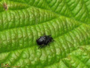 Berkenbladrolkever - Deporaus betulae