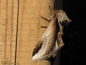 Berkenbrandvlerkvlinder - Pheosia gnoma