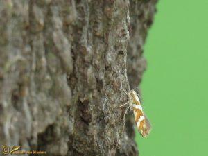 Berkenpedaalmot - Argyresthia goedartella
