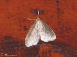 Berkenwintervlinder - Operophtera fagata