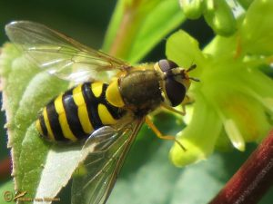 Bessenbandzweefvlieg - Syrphus ribesii