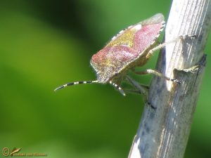 Bessenschildwants - Dolycoris baccarum