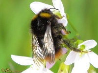 bijen-hommels