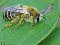 Bijen Hommels Families