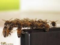 Bijen Hommels Filmpjes
