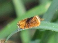 Bladrollers (Tortricidae)