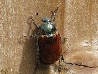 Bladsprietkevers Meikevers Mestkevers (Scarabaeoidae)