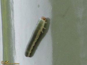 Bladwesp onbekend - Symphyta indet.