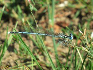Blauwe Breedscheenjuffer – Platycnemis pennipes ♂️
