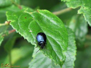 Blauwe muntgoudhaan - Chrysolina coerulans