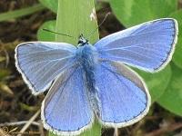 Blauwtjes, kleine pages en vuurvlinders (Lycaenidae)