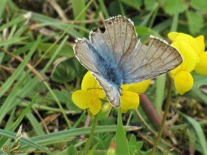 Bleek blauwtje – Lysandra coridon