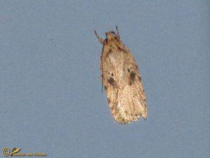 Bleke kaartmot - Agonopterix arenella