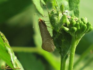 Bleke langsprietmot - Nematopogon swammerdamella