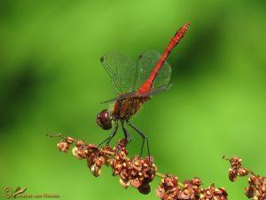 Bloedrode heidelibel - Sympetrum sanguineum ♂️
