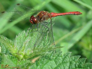 Bloedrode heidelibel - Sympetrum sanguineum