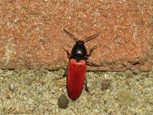 Bloedrode kniptor - Ampedus sanguineus
