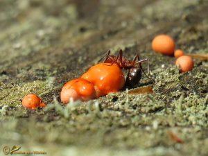 Bloedrode roofmier - Formica sanguinea