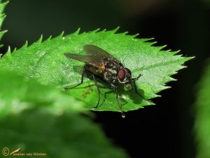 Bloemvlieg onbekend - Anthomyiidae indet.