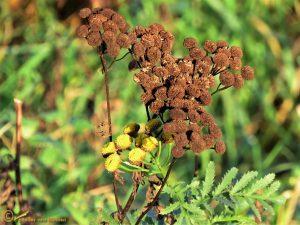 Boerenwormkruid - Tanacetum vulgare