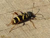 Boktoren (Cerambycidae)