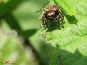 Bonte Grasspringspin - Evarcha arcuata