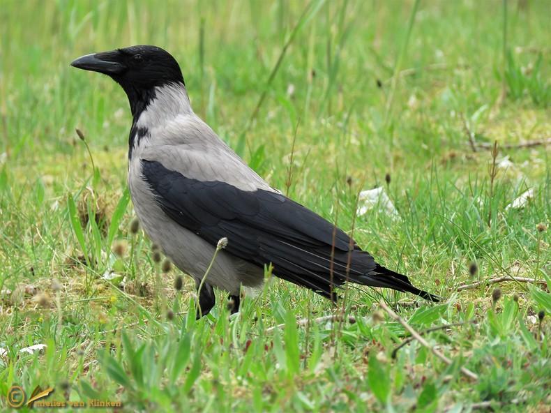 Bonte Kraai – Corvus cornix