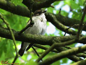Bonte Vliegenvanger - Ficedula hypoleuca