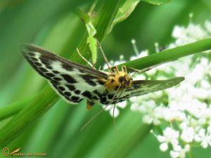 Bonte brandnetelmot - Anania hortulata