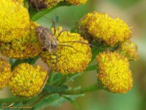 Bonte hooiwagen - Paroligolophus agrestis